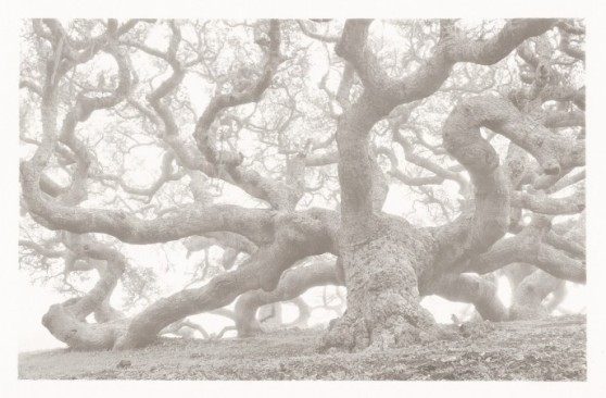 coast_oak_1991_ca-688x452